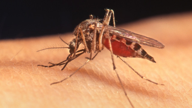 Mosquitoes can transmit the viruses that cause West Nile fever. Photo by Noah Poritz, courtesy United States Department of Agriculture Agricultural Research Service