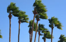 Gusts shake palm trees