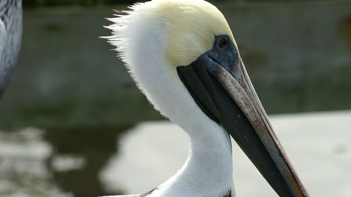 Stubborn pelican blocks freeway ramp, causes SigAlert