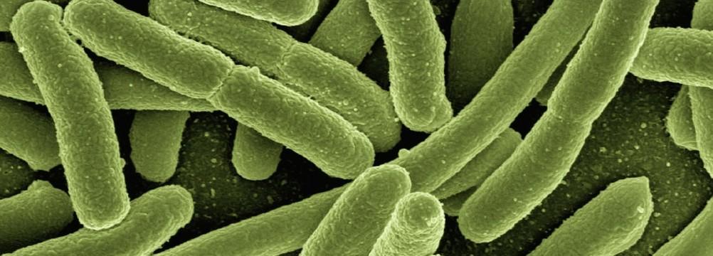 Image of Koli bacteria. Photo via Pixabay.