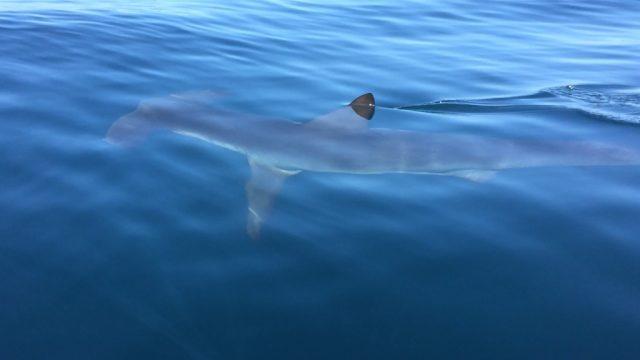A hammerhead shark. Courtesy San Diego Fire-Rescue