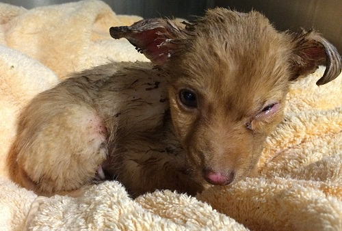 A reward is being offered for the person suspected of burning a puppy and leaving him for dead. Photo courtesy the Inland Valley Humane Society