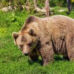 Skinny-dipping Brown Bear Freaks Out Granada Hills Residents | My News LA