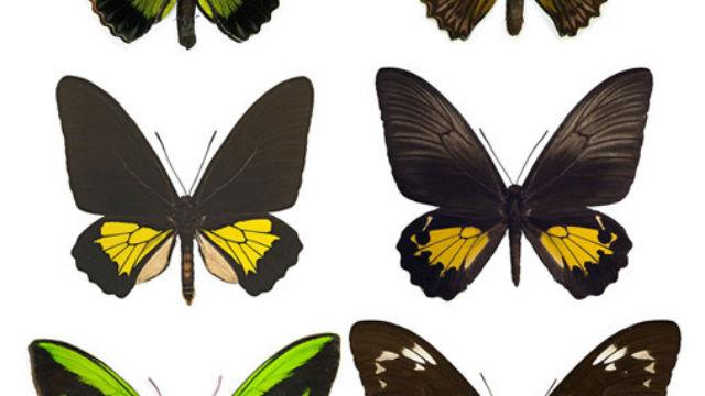 Birdwing Butterfly Featured