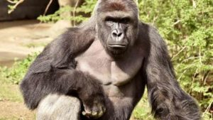Archive photo of Harambe, a 17-year-old Western lowland gorilla. Photo via Reuters