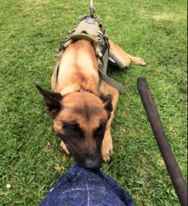 Long Beach Police Dog 'Credo'