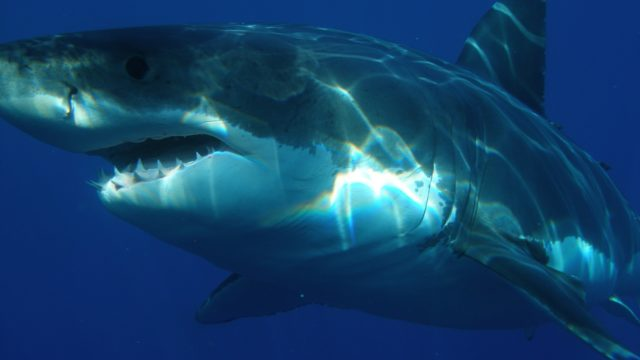 An example of a Great White shark. Photo via Pixabay