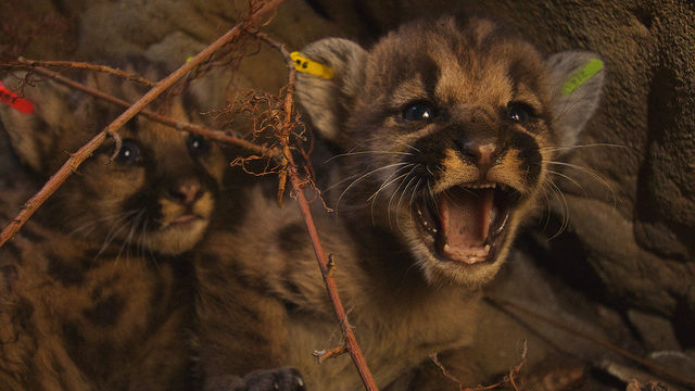 National Park Service researchers discovered the mountain lion kittens born to P-39. This image was taken of the kittens June 22, 2016 in the eastern Santa Susana Mountains. They were eartagged and returned to their den. Photo: NPS