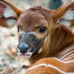 A eastern bongo calf born at the Houston Zoo in 2014. Photo via Houston  Zoo