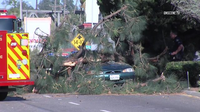Strong Santa Ana winds caused downed trees in Whittier, March 27, 2017. Photo: OnSceneTV