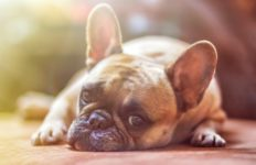 A French Bulldog. Photo from Pixabay.