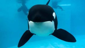 Kasatka of SeaWorld San Diego died Aug. 15 after a long bout with lung infection.