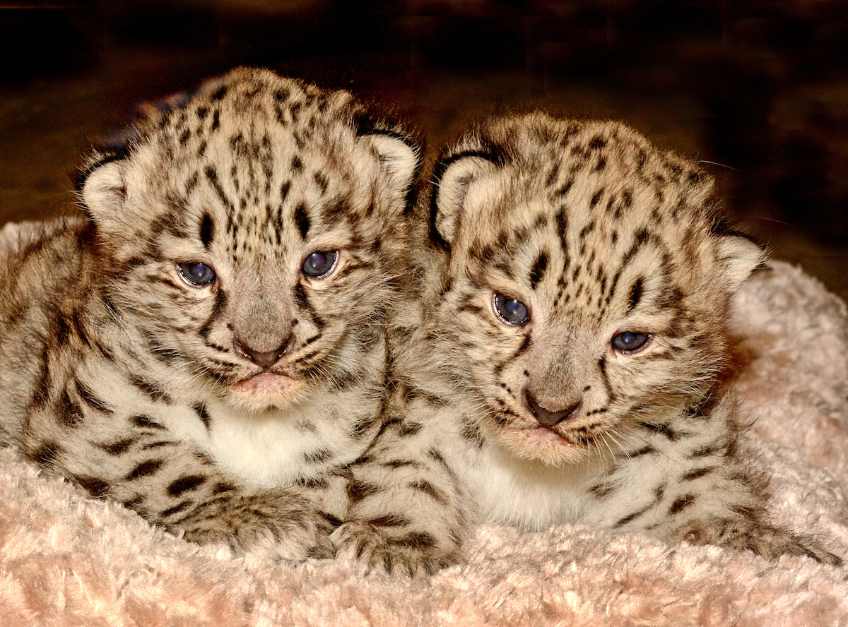 LA Zoos Newest Female And Male Snow Leopard Cubs Photo By Tad Motoyama