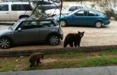 La Crescenta bears