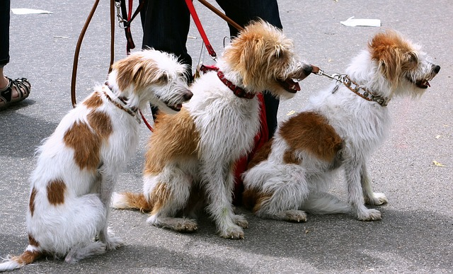 A trio of scruffy dogs on their leashes.