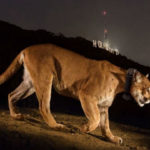 A mountain lion, at night, in the foothills of Los Angeles.