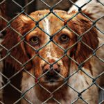 A dog looks out from inside an animal shelter cage.