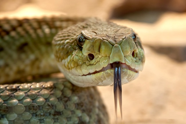 A closeup shot of a rattlesnake's head.