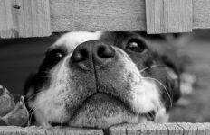 A happy dog peers through a fence. Photo from Pixabay.
