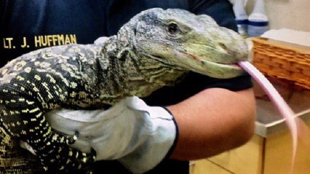 crocodile monitor lizard