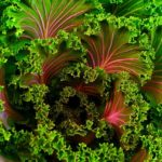 Kale like the kind sold at many produce markets. Photo from Pixabay.