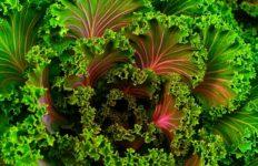 Kale like the kind sold at many produce markets. Photo from Pixabay.