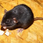 A mouse eating cheese. Photo from Pixabay.