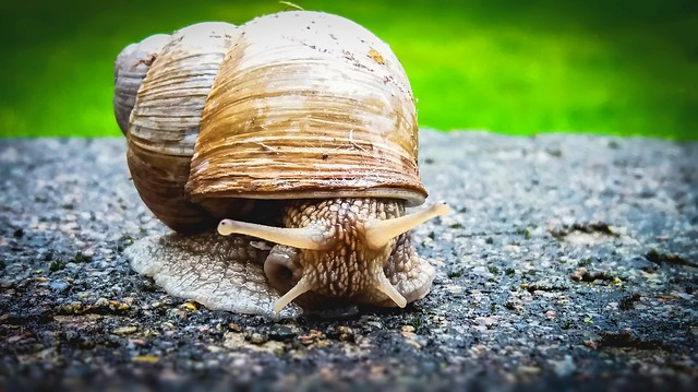 A snail on a rock. Photo from Pixabay.