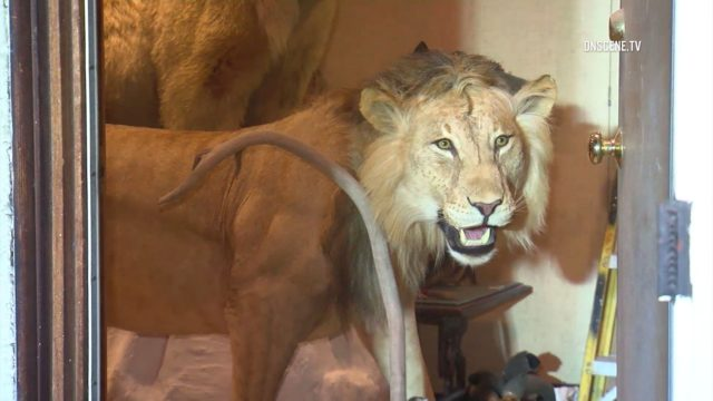 taxidermied lion