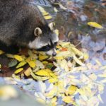 A racoon in the wild. Photo from Pixabay.