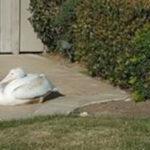 Injured pelican