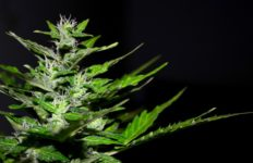 A cannabis plant. Photo from Pixabay.