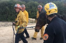 Firefighters with rescued horse
