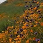 Wildflowers near Lake Elsinore